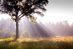 Morning Sun Rays. Caught streaming through tree in a field Royalty Free Stock Photos