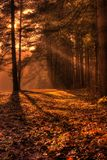 Morning Sun Rays in the Forest. Shafts of morning sunlight filtering through the forest branches in Autumn royalty free stock photography