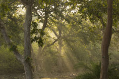 Morning Sun Rays in the Forest Royalty Free Stock Image