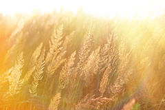 The morning sun rays in the high grass Stock Photo