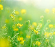 Morning sun rays on little yellow flowers Royalty Free Stock Photos