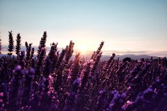 Morning sun rays over blooming lavender field royalty free stock photos