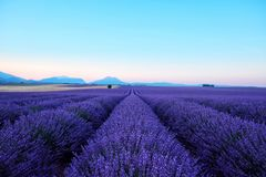 Morning sun rays over blooming lavender field stock photos
