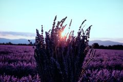 Morning sun rays over blooming lavender field royalty free stock image