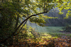 Morning sun rays shining in the autumn forest Stock Photos