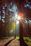 Morning sun rays shining in the autumn forest Royalty Free Stock Photo
