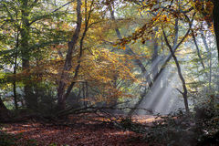 Morning sun rays shining in the autumn forest Stock Images