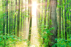 Morning sun rays in summer in the forest. Royalty Free Stock Photos