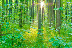 Morning sun rays in summer in the forest Royalty Free Stock Photography
