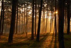 Morning sun rays in the woods. Sunbeams in a forest through trees Royalty Free Stock Photography