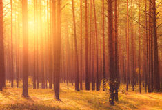 Morning sun shine in forest Royalty Free Stock Images