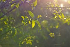 Morning sun shines on the tree. The light shadows between the leaves look beautiful Royalty Free Stock Photos