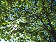 Blue sky shines through leaves and branches in forest. Morning sun shining brightly through tree branches in early summer royalty free stock photo