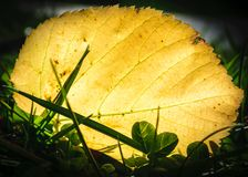 Morning sun shining through a fallen leaf in Kentucky on a fall day. Close up stock image
