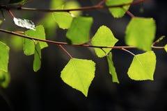 The morning sun shining through Fremont Cottonwood leaves Royalty Free Stock Images
