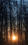 Morning Sun is shining through tall trees Royalty Free Stock Images