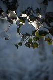 Morning sun. Snow covered leaves in the morning sun royalty free stock photo