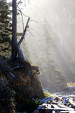 Morning sun streaming through old growth forest Royalty Free Stock Photos