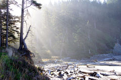 Morning sun streaming through old growth forest Royalty Free Stock Image