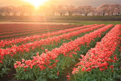 Morning sun Tulips and cherry tree Royalty Free Stock Photos