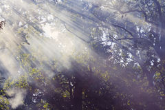 Morning sunbeam in forest with smoke Stock Photos