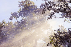 Morning sunbeam in forest with smoke Royalty Free Stock Photo