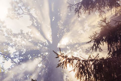 Morning sunbeam in forest with smoke Royalty Free Stock Images
