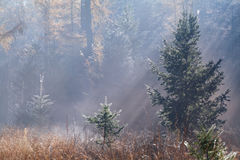 Morning sunbeams in autumn forest Royalty Free Stock Photo