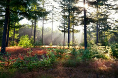 Morning sunbeams in coniferous forest Royalty Free Stock Images