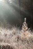Morning sunbeams over frosted meadow in forest. Morning sunbeams over frosted meadow in misty forest Stock Photo