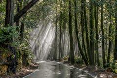 Free Morning Sunbeams Through Coast Redwoods. Stock Images - 139119844