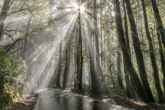 Free Morning Sunbeams Through Coast Redwoods. Stock Photo - 139120180