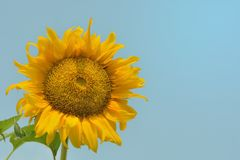 Morning with sunflower. Royalty Free Stock Photos