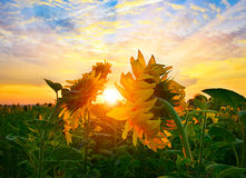 Morning sunflowers Royalty Free Stock Photos