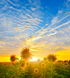 Morning sunflowers Royalty Free Stock Photo