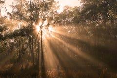 Morning Sunlight. Shafts of morning sunlight filtering through eucalyptus tree canopy, Australia Stock Photography