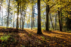 Morning sunlight in the autumn forest Royalty Free Stock Photo