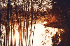 Morning sunlight at bamboo trees beside lake. Morning sunlight with bamboo trees at lake side with light from the back Stock Image