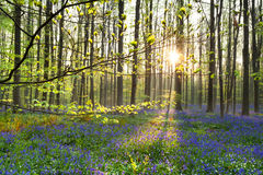 Morning sunlight in forest with bluebell flowers Royalty Free Stock Photography