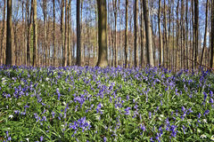 Morning sunlight in forest of Halle with bluebell flowers Royalty Free Stock Photo