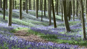 Morning sunlight in forest of Halle with bluebell flowers stock video footage