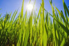 Morning sunlight in a green paddy field . stock images