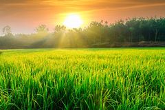 Morning sunlight with green rice fields Stock Images