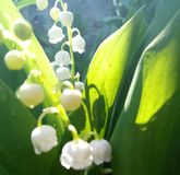 Morning sunlight and lily of the valley royalty free stock photo