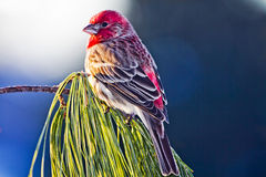 Morning Sunlight on Pine Grosbeak Bird. Small pine grosbeak bird during winter time rests on pine tree branch enjoying the warmth of the early morning sunlight Stock Images