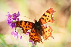 Morning sunlight shines through the wings of a butterfly.  Royalty Free Stock Photography