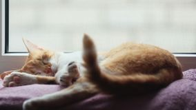 Morning sunlight on the sleeping red cat. Cute funny red-white cat on the blanket, close up. Dynamic scene stock video