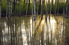 Morning sunlight in the spring forest royalty free stock photography