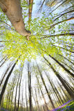 Morning sunlight in spring forest wide angle Royalty Free Stock Photo