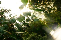 Morning sunlight in summer forest Royalty Free Stock Photo